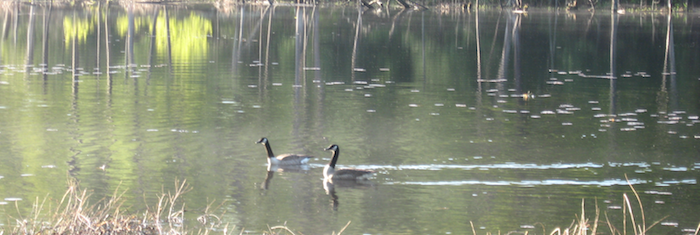 Two geese enjoying a spring day