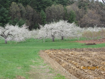 blooming apple trees with harrowed field in foreground